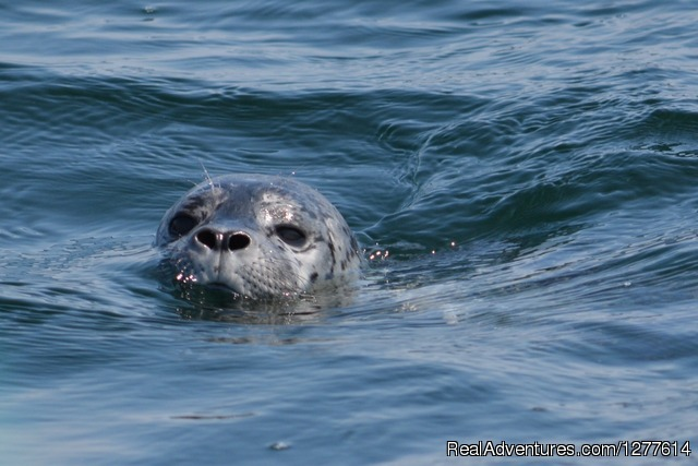 Harbour Seal - Wild Whales Vancouver
