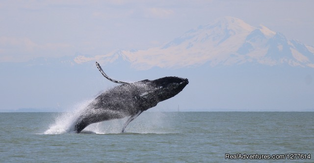 Breaching Humpback - Wild Whales Vancouver