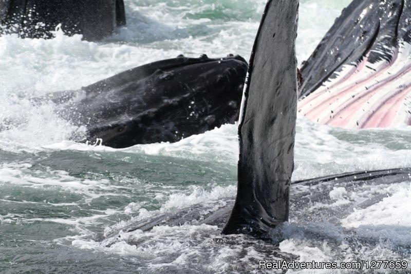 Humpback Whales bubble-net feeding as a group. | Image #13/21 | Sound Sailing- Crewed Sailboat Charters in Alaska