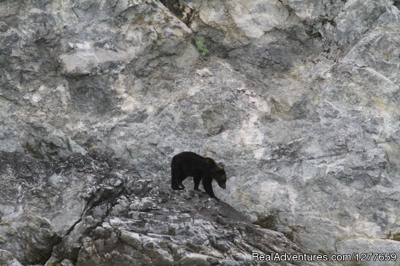 Bear in Glacier Bay | Image #5/21 | Sound Sailing- Crewed Sailboat Charters in Alaska