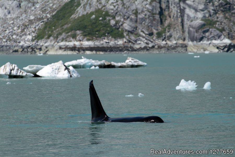 Huge male Orca in Glacier Bay NP | Image #19/21 | Sound Sailing- Crewed Sailboat Charters in Alaska