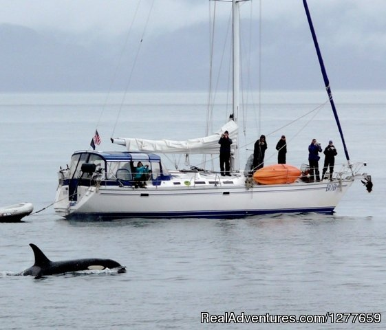 Orcas are a majestic possibility. | Image #10/21 | Sound Sailing- Crewed Sailboat Charters in Alaska