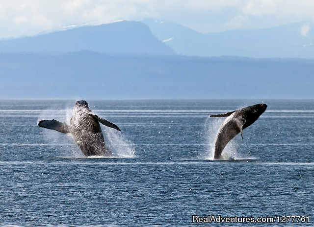 Hump back whales - S.E. Alaska up and close on the 'Northern Dream'