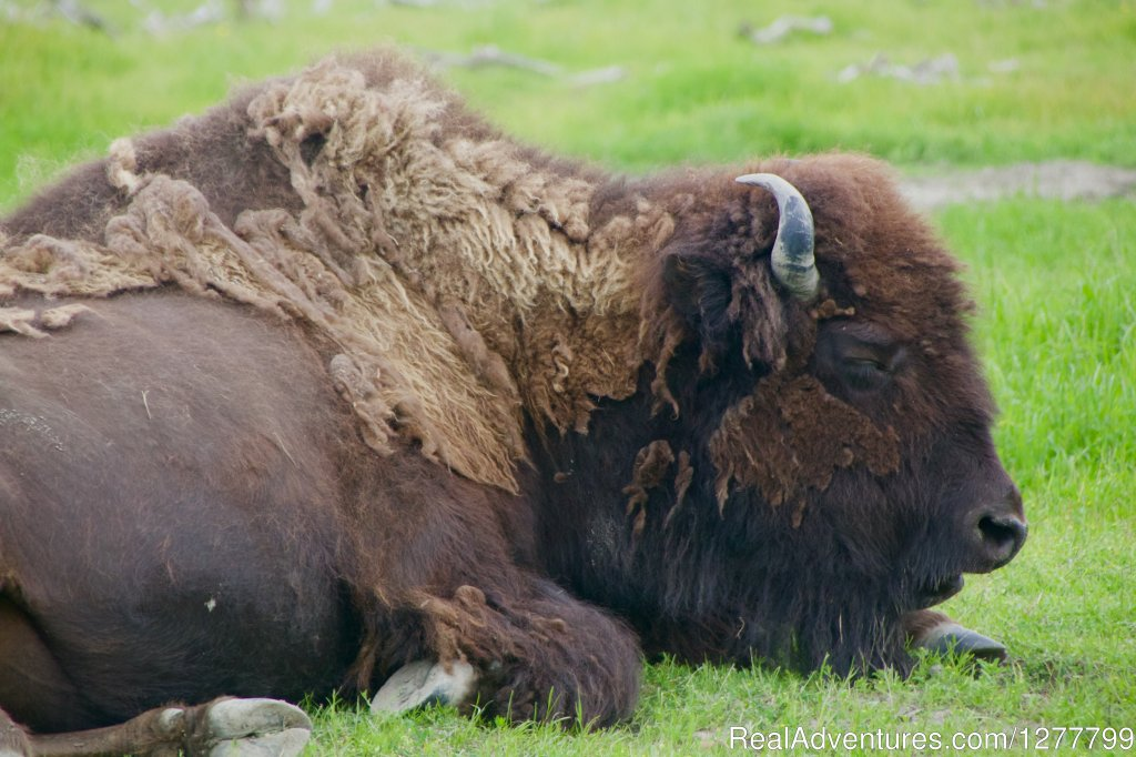 Wood Bison | Image #7/13 | Glaciers/Wildlife and Anchorage views in one day