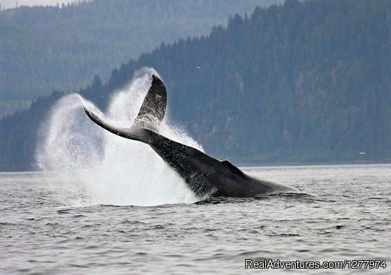 Cruise Port Fredrick to Neka Bay or Point Adolphus in this 3 hour Guaranteed Whale and Wildlife Adventure. Humpbacks, Orca, Bear, Deer, Eagles, Sea lions and more. Pick up at Icy Strait Point Cruise Ship Port.