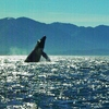 Icy Strait Whale Adventures-Guaranteed Whales