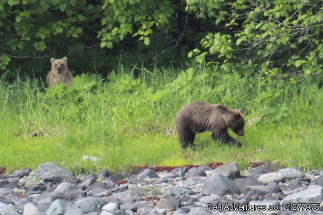 Foraging Brown Bear - Glacier Wind Charters