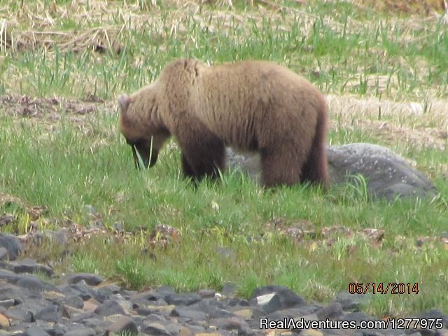 Bear eating grass - Glacier Wind Charters