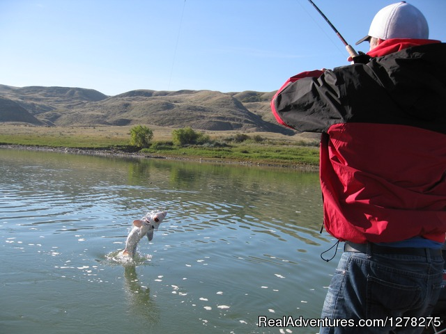 Sturgeon Come Clear Out Of The Water - Alberta Sturgeon Fishing Trips