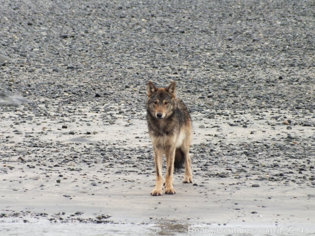 Wolf | Image #8/18 | West Coast Wonders