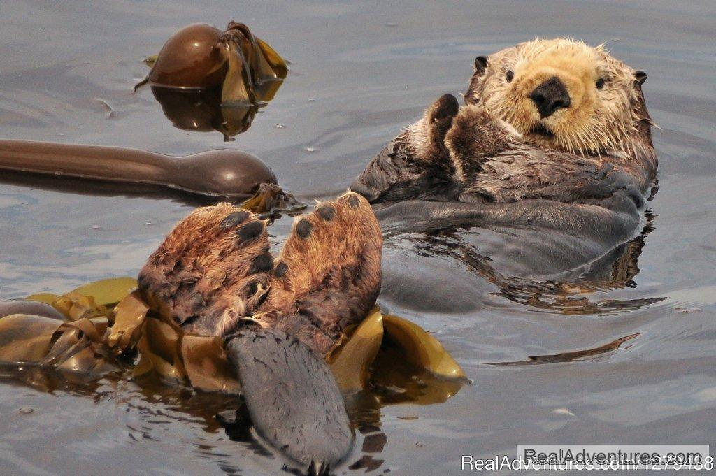 Sea otter | Image #14/24 | Whales, Wildlife & Spectacular Scenery