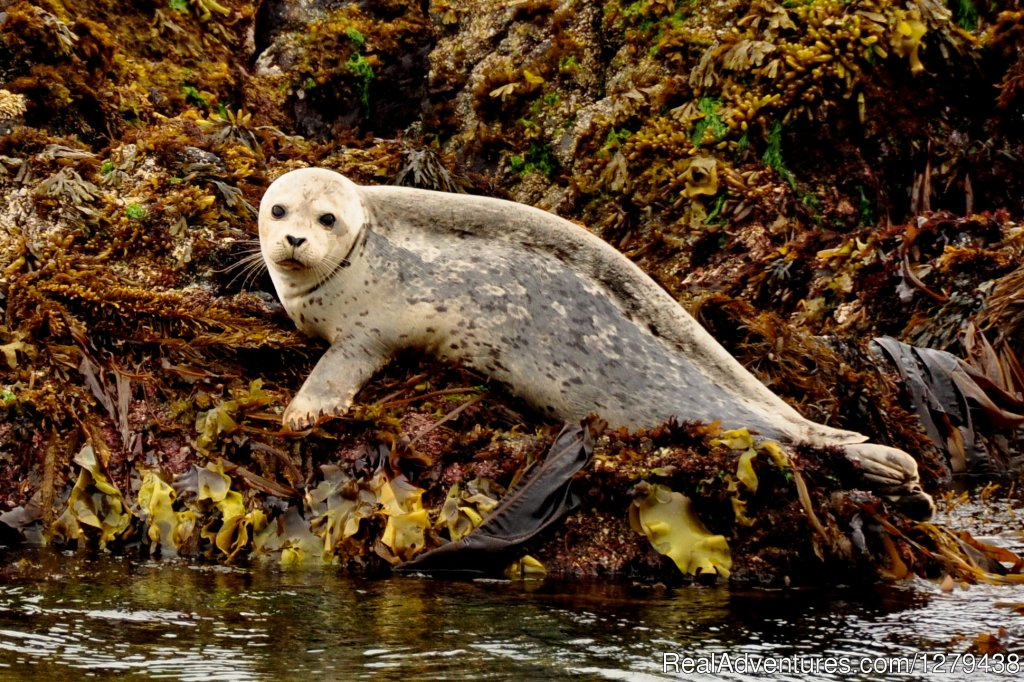 Harbour seal | Image #24/24 | Whales, Wildlife & Spectacular Scenery
