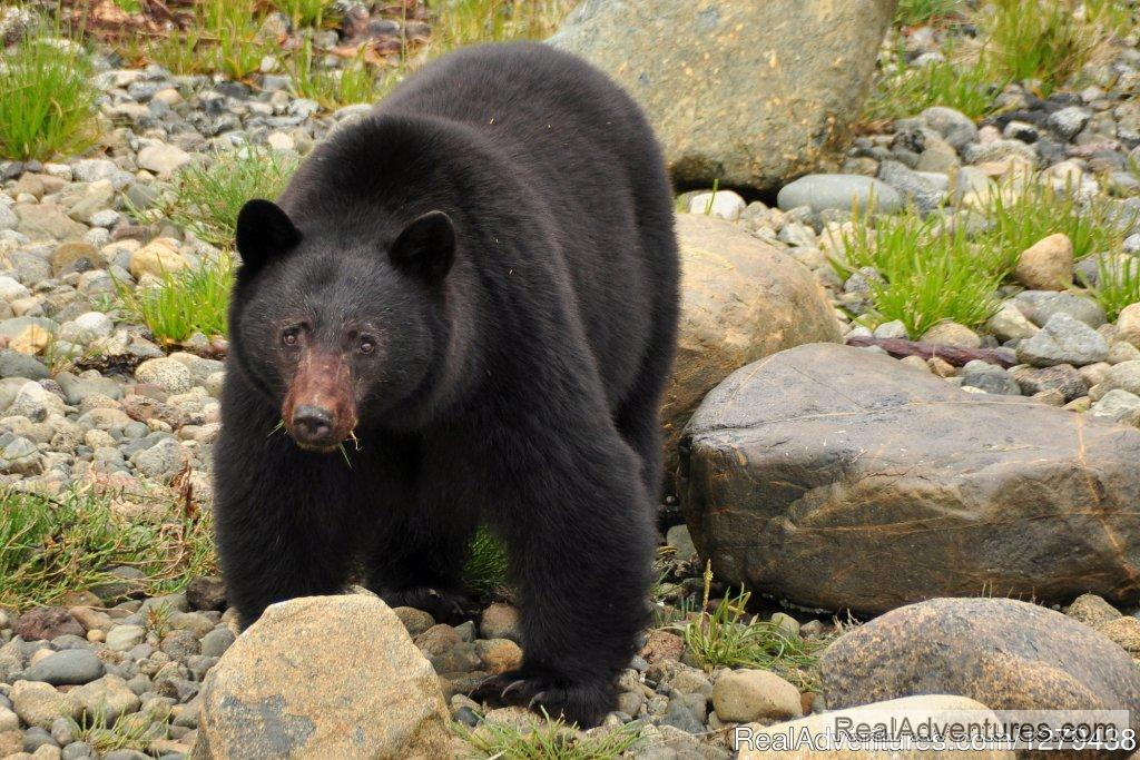 Black bear | Image #5/24 | Whales, Wildlife & Spectacular Scenery