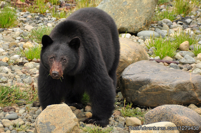 Black bear - Unique and personal whale and wildlife cruise