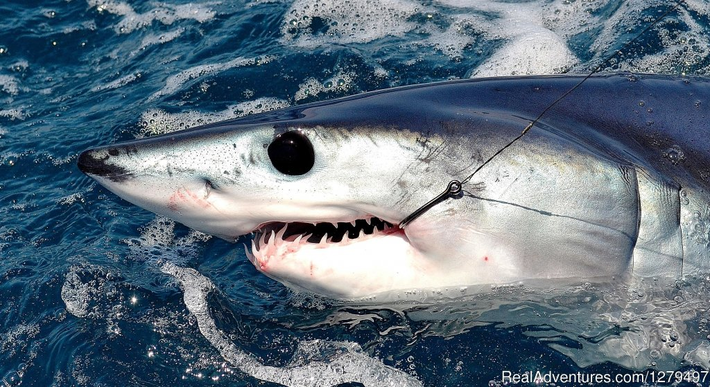 San Diego's most experienced shark fishing captains can get you hooked up to mako, hammerhead, blue and thresher sharks. Catch and release shark fishing all year long. Private charters on boats for groups of 1 - 6 people. Half day and full day trips