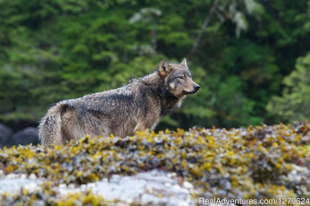 Coastal Grey Wolf | Image #2/14 | The Whale Centre & Museum