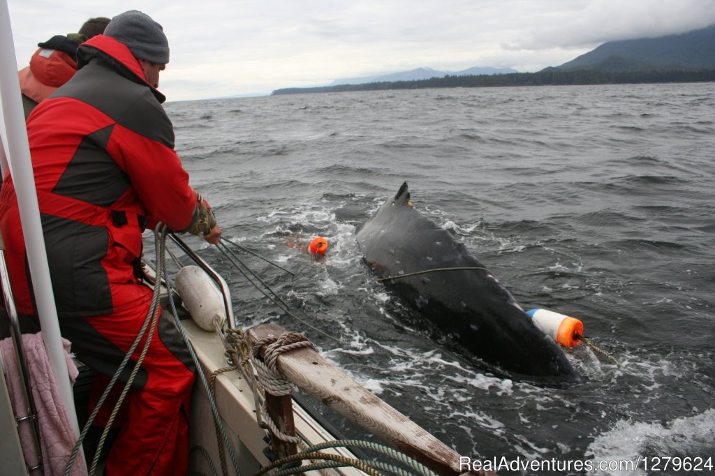 John Forde Helping a Humpback | Image #3/14 | The Whale Centre & Museum