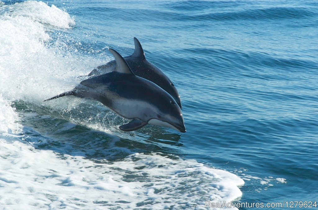 Pacific White Sided Dolphins | Image #4/14 | The Whale Centre & Museum