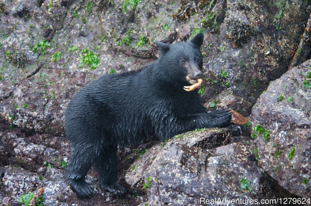 Black Bear and Crab Leg | Image #6/14 | The Whale Centre & Museum