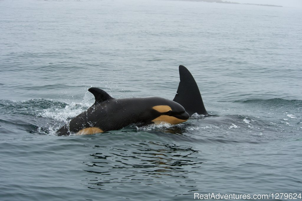 Baby Orca | Image #7/14 | The Whale Centre & Museum