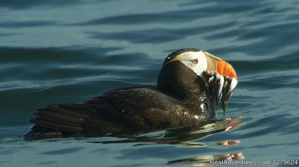 Tufted Puffin | Image #10/14 | The Whale Centre & Museum