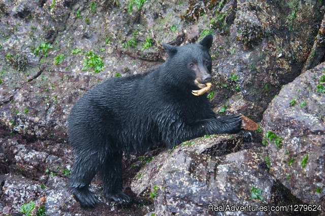 Black Bear and Crab Leg