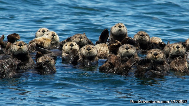 Sea Otter Raft
