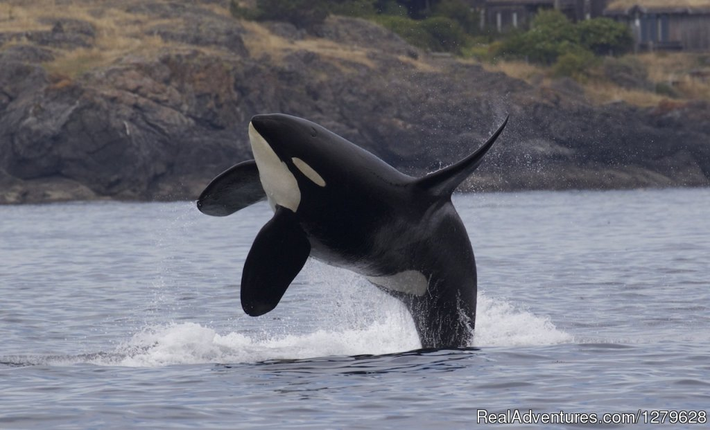 Breaching Orcas | Image #4/11 | Five Star Whale Watching