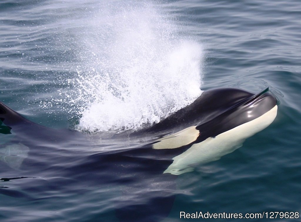 Surfacing Orca | Image #6/11 | Five Star Whale Watching