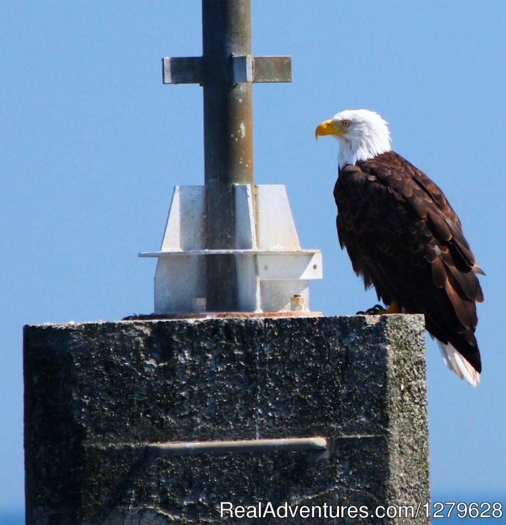Bald Eagle | Image #7/11 | Five Star Whale Watching