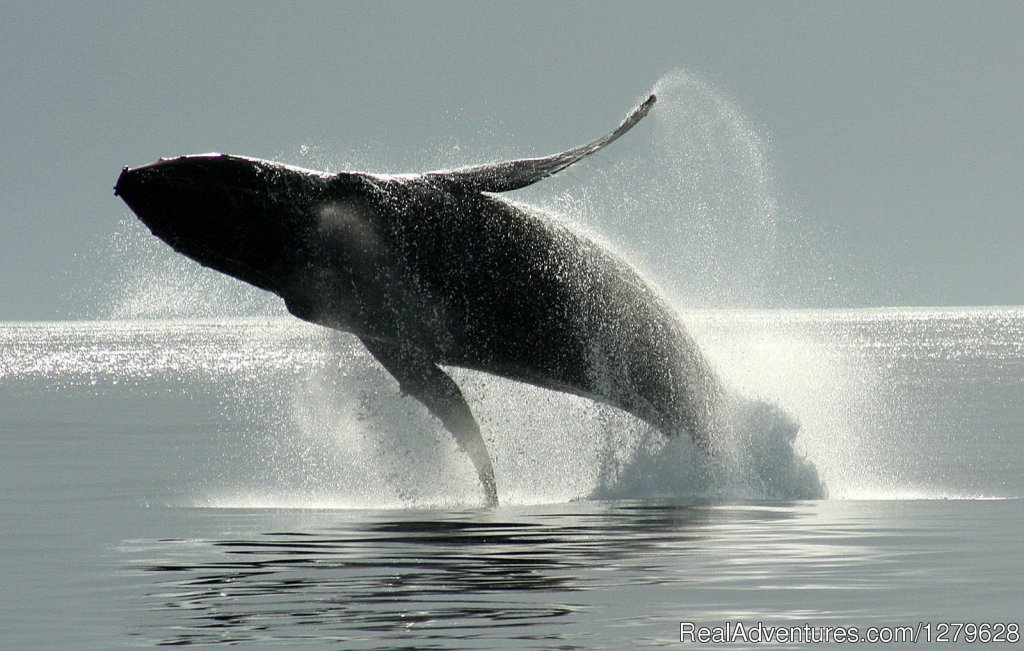 Breaching Humpback Whale | Image #8/11 | Five Star Whale Watching
