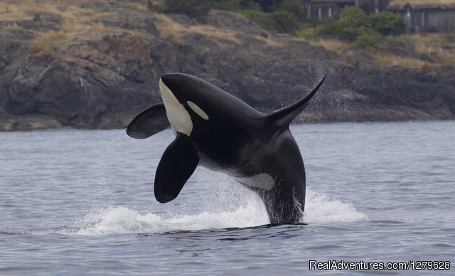Breaching Orcas - Five Star Whale Watching