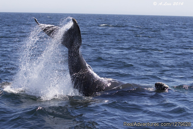 Humpback Whale Tail Lobbing - Five Star Whale Watching