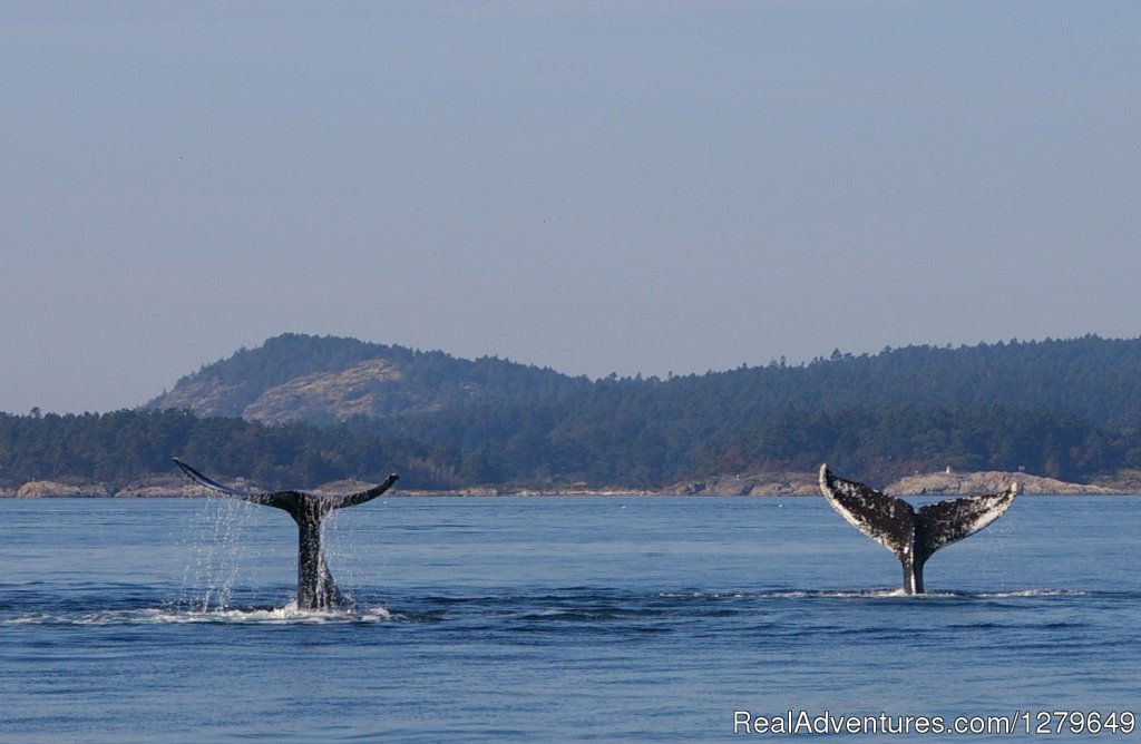 Image #7/19 | Sooke Whale Watching