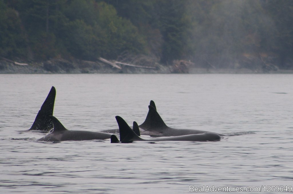 Image #17/19 | Sooke Whale Watching