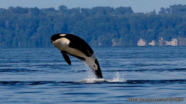 BC Whale Tours Breaching Juvenile Orca