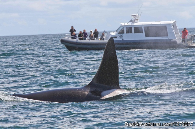 LUNA with orca - BC Whale Tours