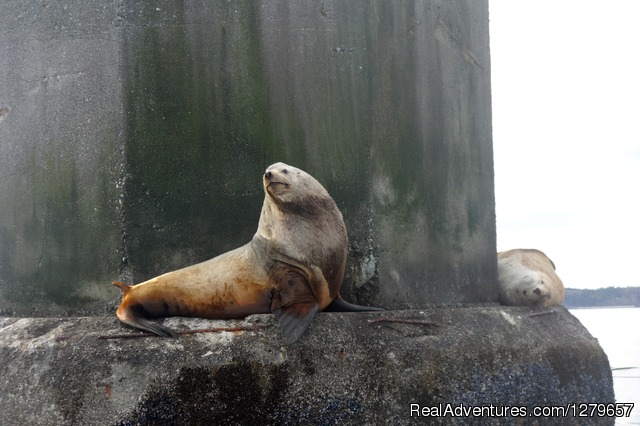 Sea Lion - BC Whale Tours