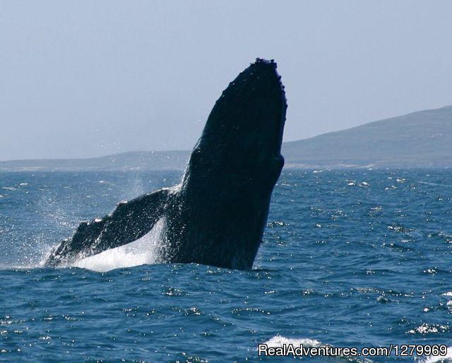 Sail Channel Islands Humpback whale breaching