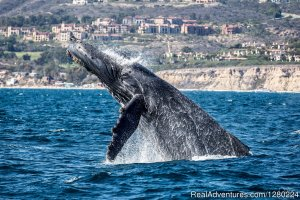 Newport Beach Whale Watching Sight-Seeing Tours Newport Beach, California