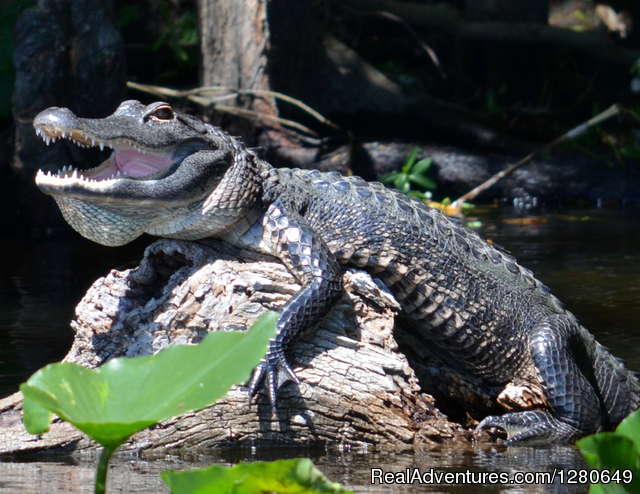 Alligator on a log - St. Johns River Eco Tours discover Real Florida