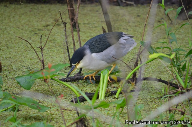 Black Crowned Night Heron - St. Johns River Eco Tours discover Real Florida