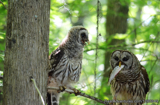Barred Owls - St. Johns River Eco Tours discover Real Florida