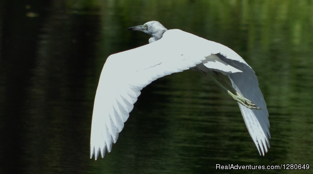 Immature Stage of the Little Blue Heron - St. Johns River Eco Tours discover Real Florida