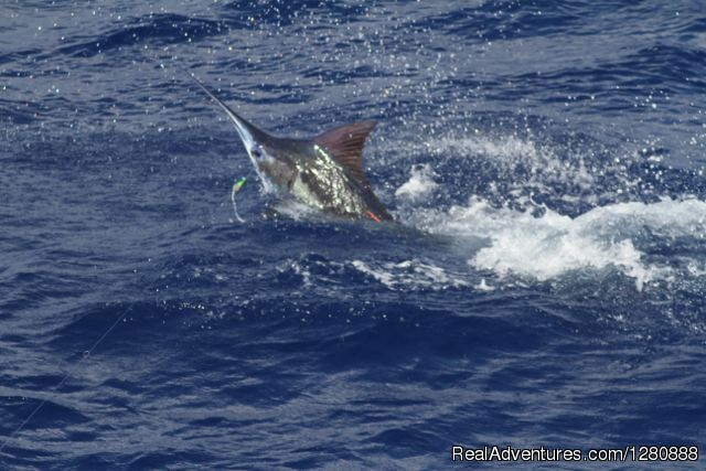 Blue Marlin Jumping Away From The Boat
