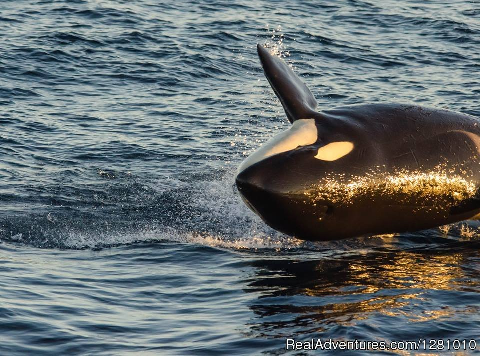 Playful Orca | Image #2/9 | Harbor Breeze Cruises