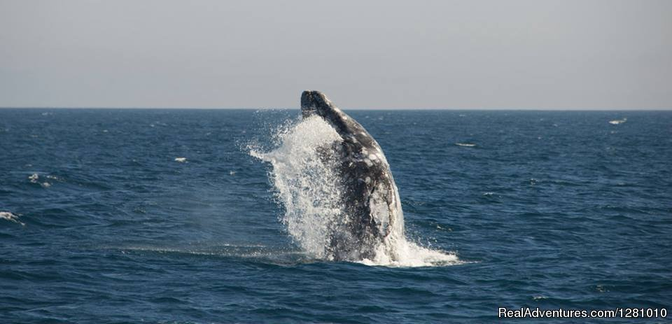 Breaching whale | Image #5/9 | Harbor Breeze Cruises