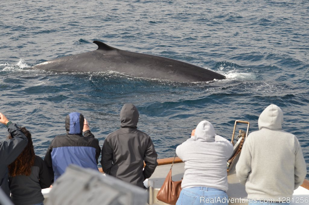 Fin whale | Image #2/7 | San Diego Whale Watch