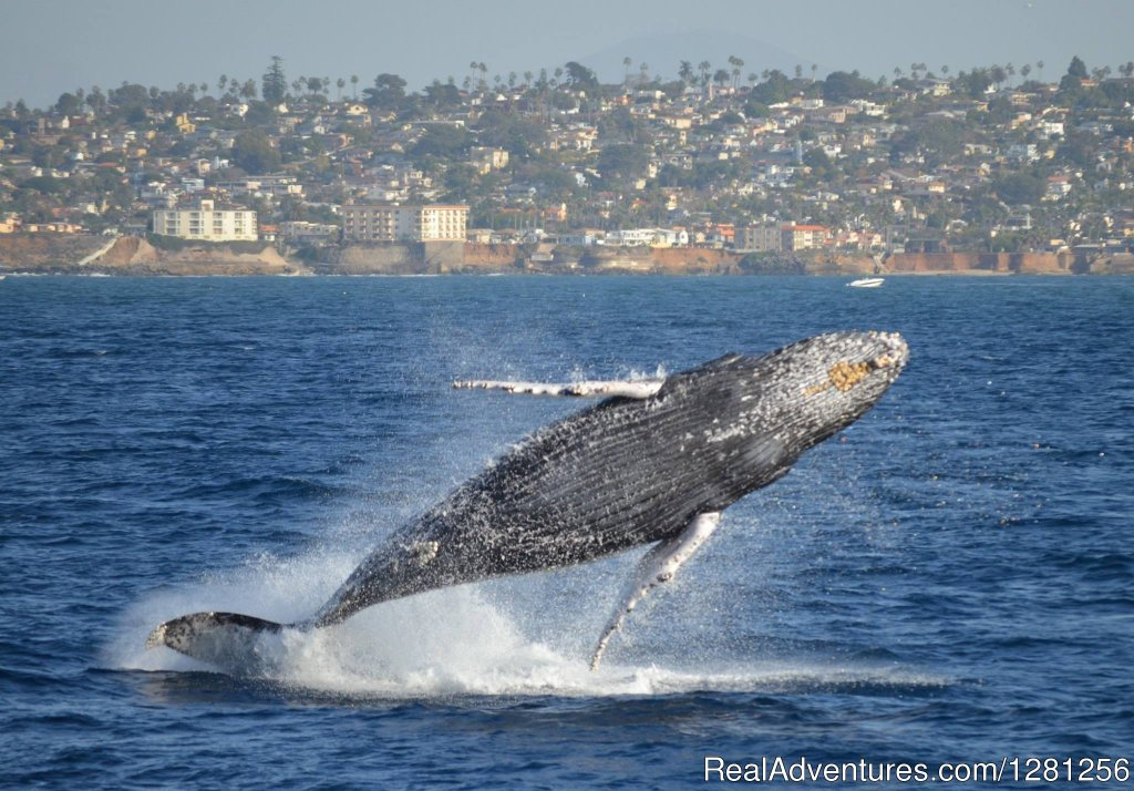Humpback whale breaching | Image #5/7 | San Diego Whale Watch