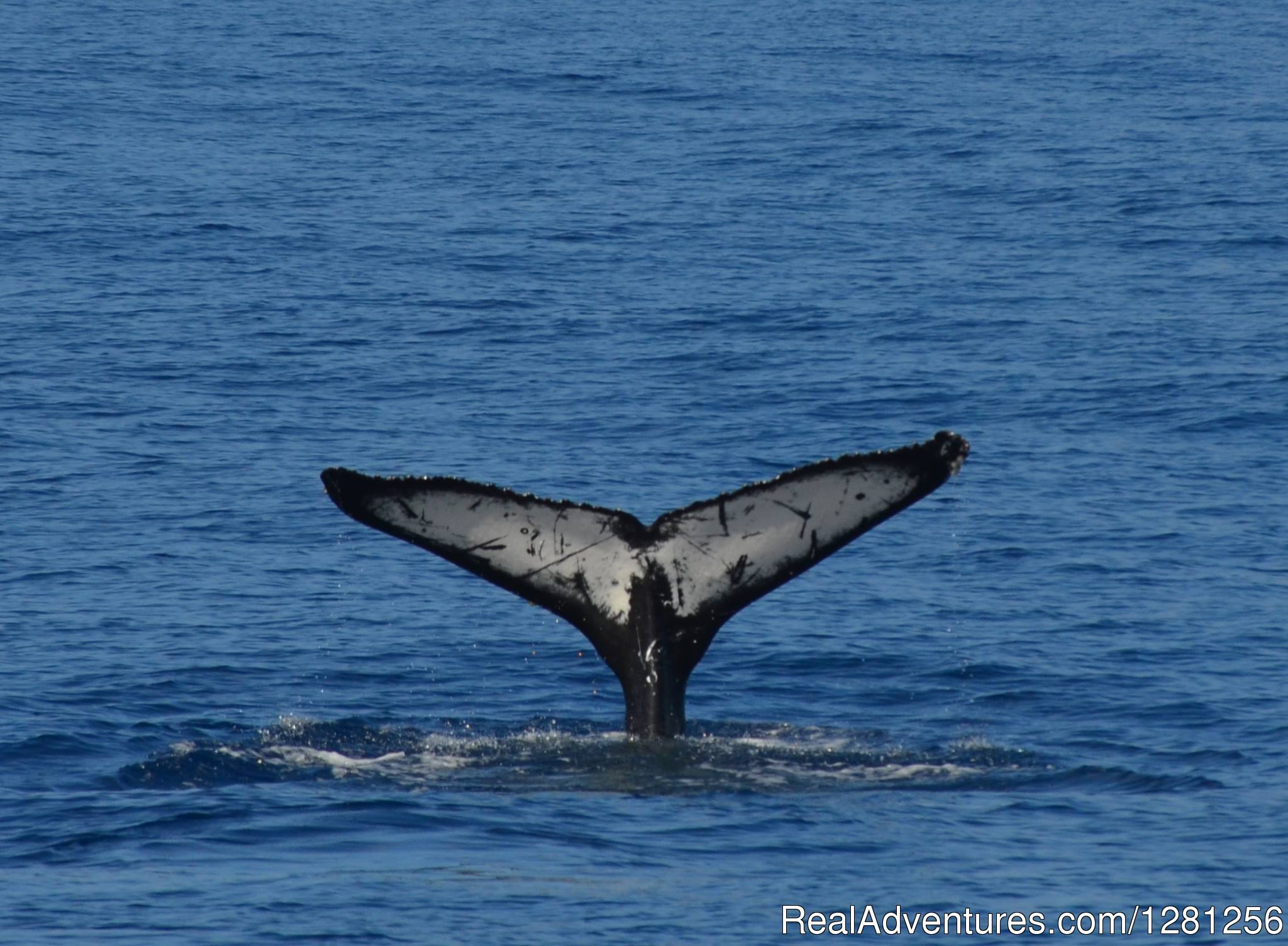 Humpback tail fluke